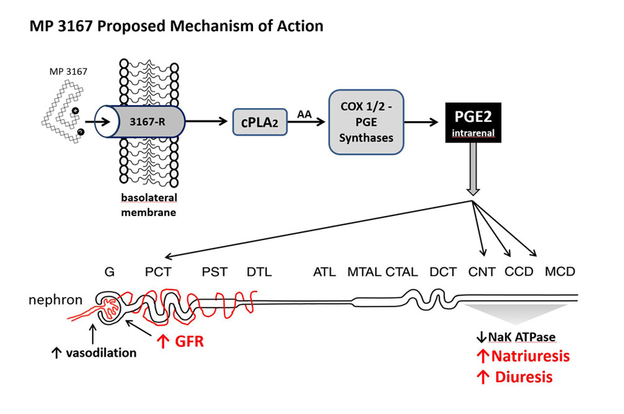 Renopeptins Proposed Mechanism of Action